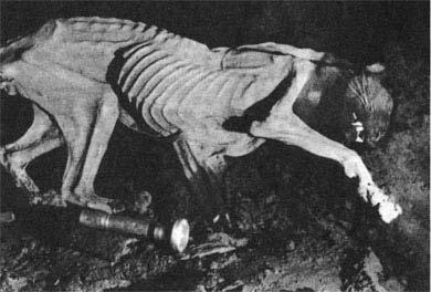 Хозяин гор - переднеазиатский леопард - тоже стал жертвой пещерной ловушки.