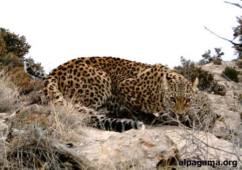 Внимание! В объективе – леопард