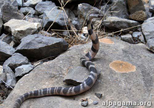 Молодая среднеазиатская кобра