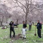 Посадки деревьев в Дарай-Дере