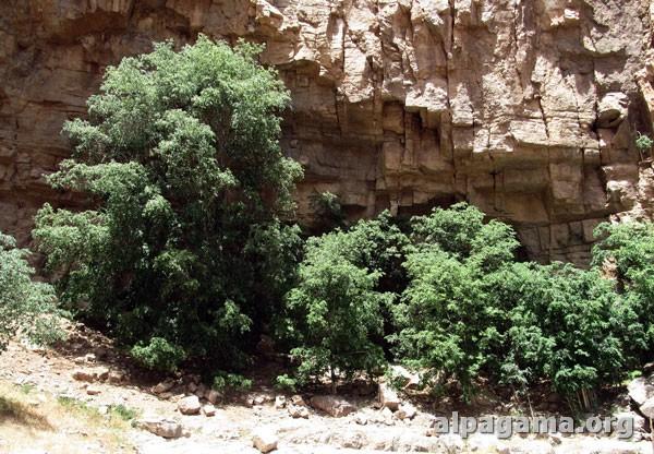 Дерево дагдан – символ удачи