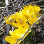 «Желтые цветы» Тереза УВАРОВА