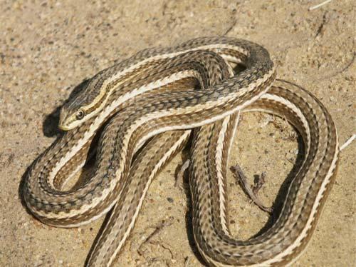 Стрела-змея