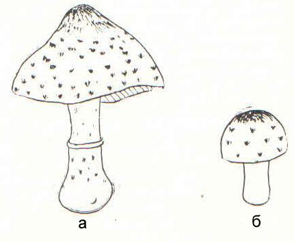 Смертельно ядовитый гриб Lopiota brunneoincarnata: а - полодовое тело, зрелое, б - молодое.