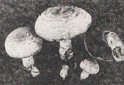 Ядовитый шампиньон (Аgaricus hanthodermus var. Lepiotoides)