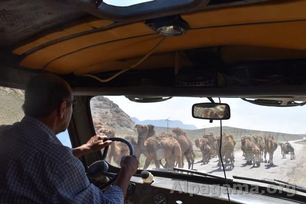 Верблюды навстречу