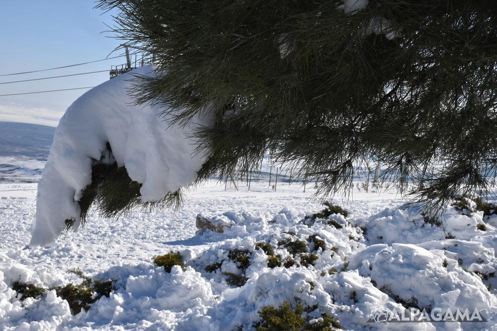 Сосновая лапа под снегом