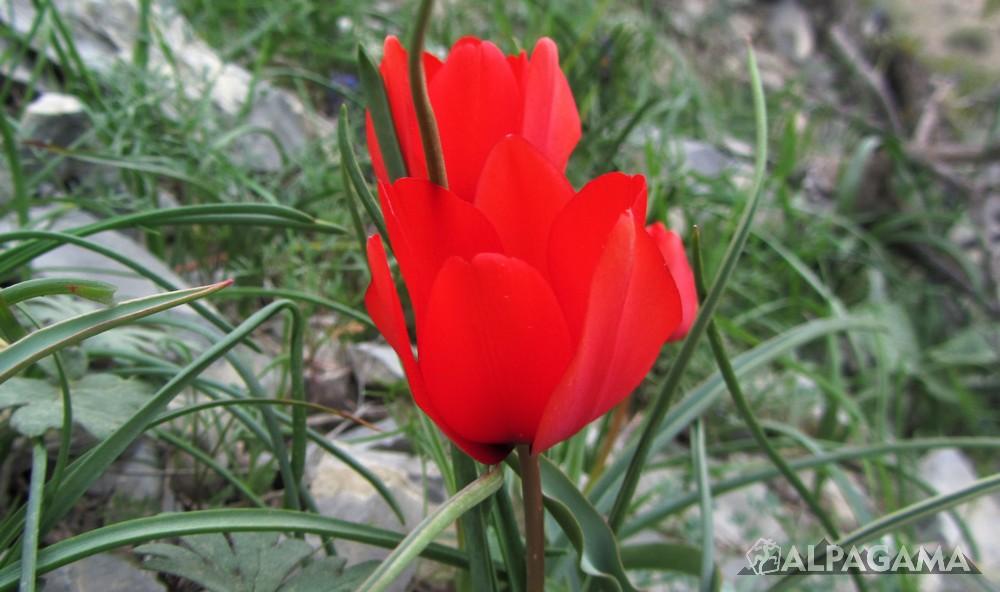 Тюльпан (фото: Дмитрий Винокуров)