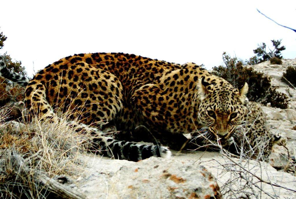 Переднеазиатский леопард в Копетдаге