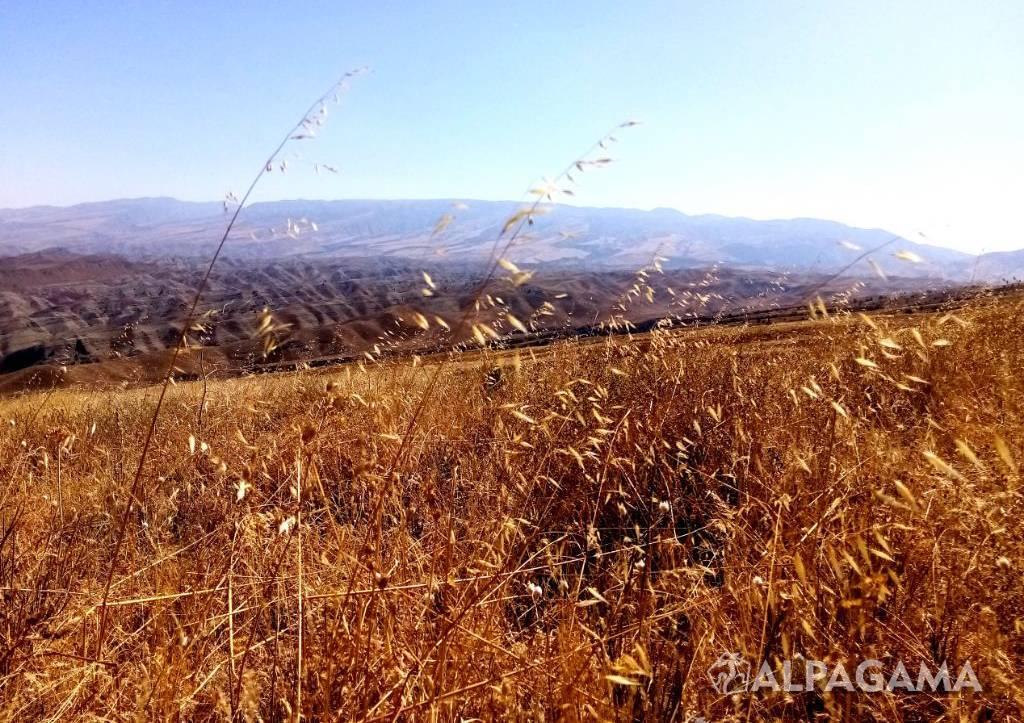 Дикие злаки в горах Копетдага