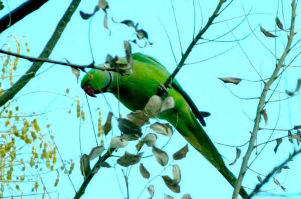 Два десятка попугаев живет в ашхабадских парках