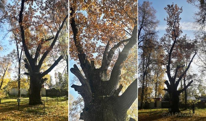 Легендарный ковровский дуб – памятник живой природы